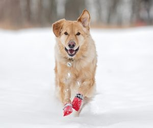 AdobeStock 192998162 Socks 300x252 - How to Protect Your Dog in Snow and Ice
