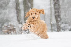 smallDog in snow 300x200 - How to Protect Your Dog in Snow and Ice