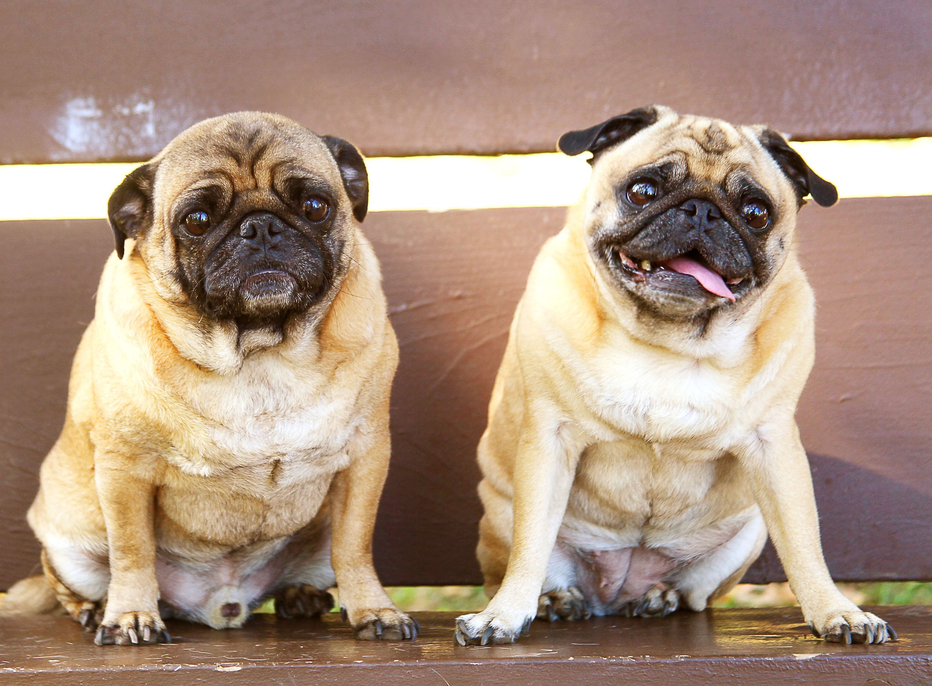pugs 2319433 1920 - How to Create an Emergency Plan for Your Pet