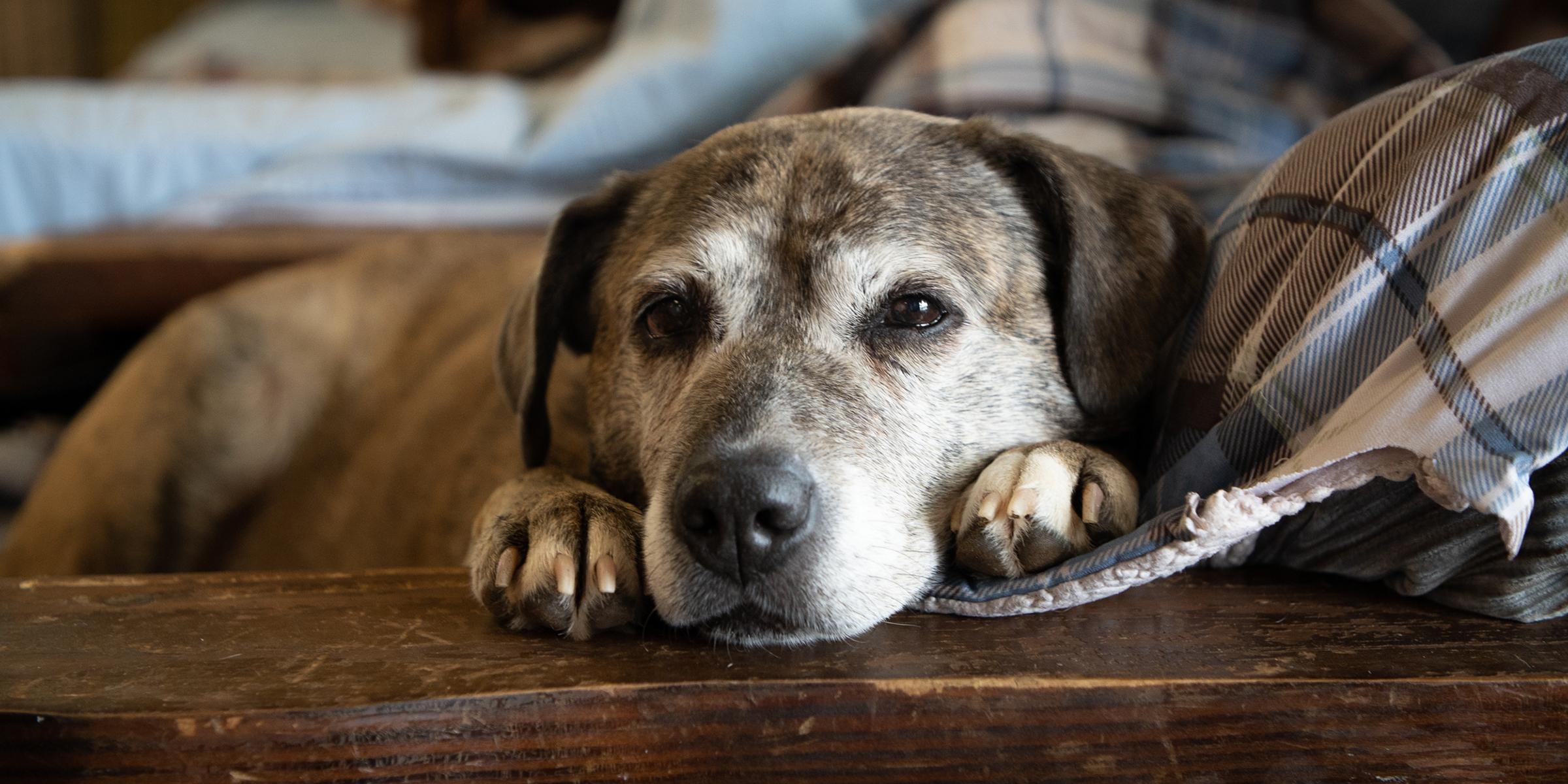 old dog today main 190625 f5d00385fdc328d1ac98ac057e00b1fe - Adopt a Senior Pet Month – How Your Pet Ages